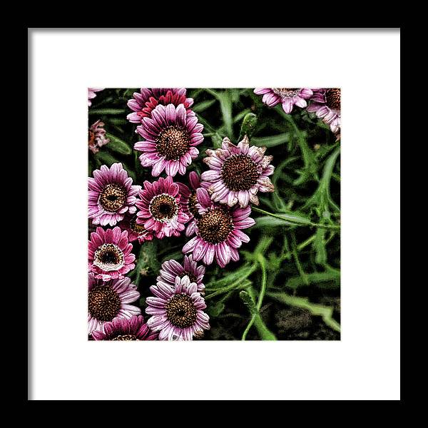 Pink Daisies Framed Print featuring the photograph Wet Petals by Bonnie Bruno