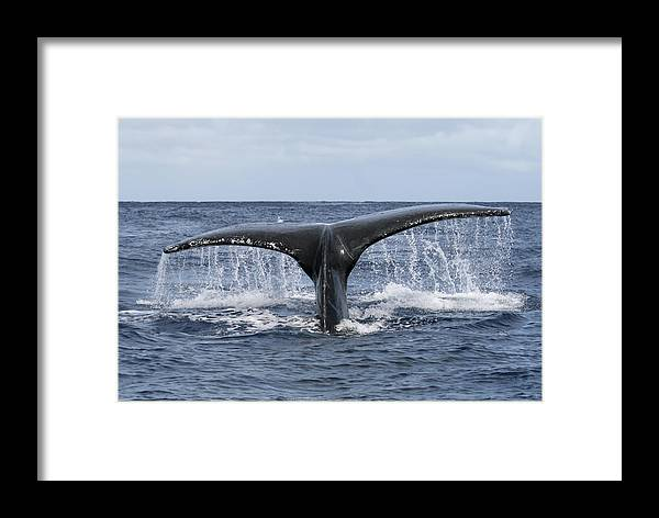 Water Framed Print featuring the photograph Whale Tail by Lita Kishbaugh