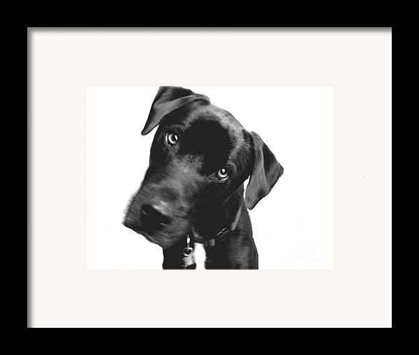 Labrador Framed Print featuring the photograph What by Amanda Barcon