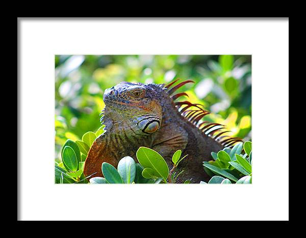 Iguana Framed Print featuring the photograph Whatcha Lookin At by Joe Arwood