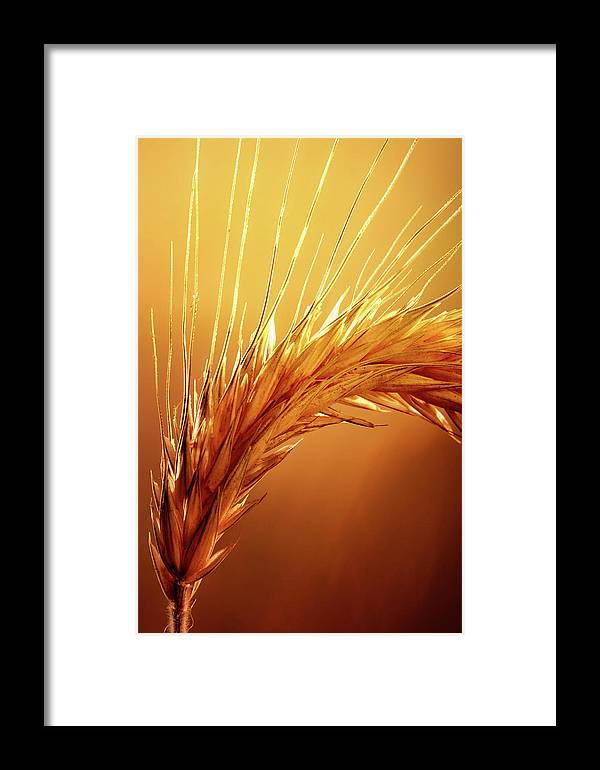 Wheat Framed Print featuring the photograph Wheat Close-up by Johan Swanepoel