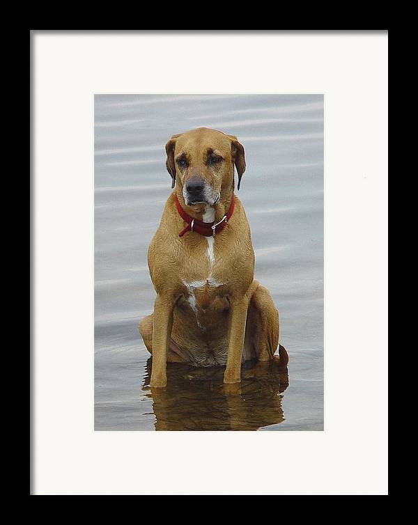 Dog Framed Print featuring the photograph Where's The Pillow by Debbie May