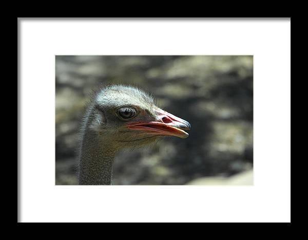 Ostrich Framed Print featuring the photograph Where's The Sand by Donna Blackhall