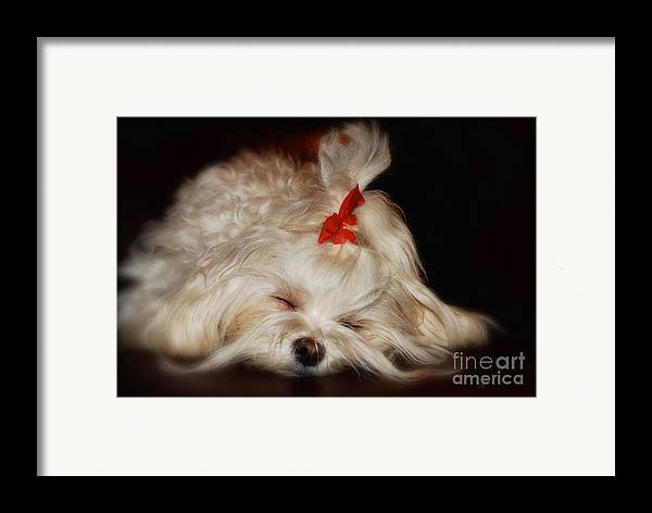 Maltese Framed Print featuring the photograph While Sugarplums Danced by Lois Bryan