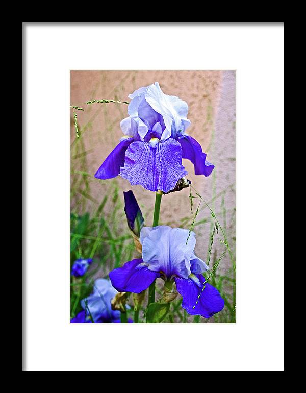 White And Purple Iris At Pilgrim Place In Claremont Framed Print featuring the photograph White And Purple Irises At Pilgrim Place In Claremont-california- by Ruth Hager