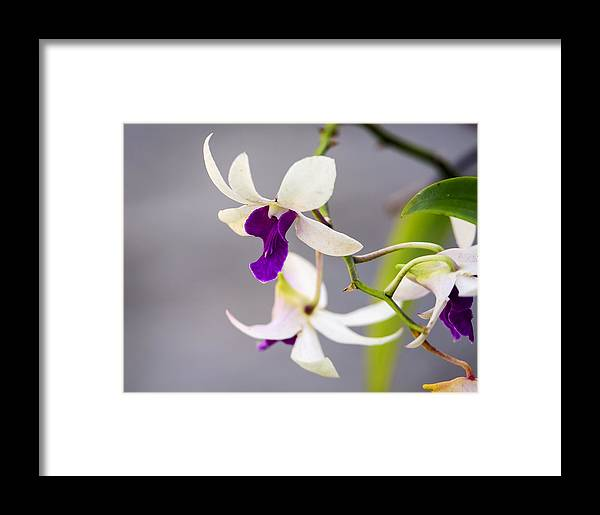 Background Framed Print featuring the photograph White And Purple Orchid by Steve Samples
