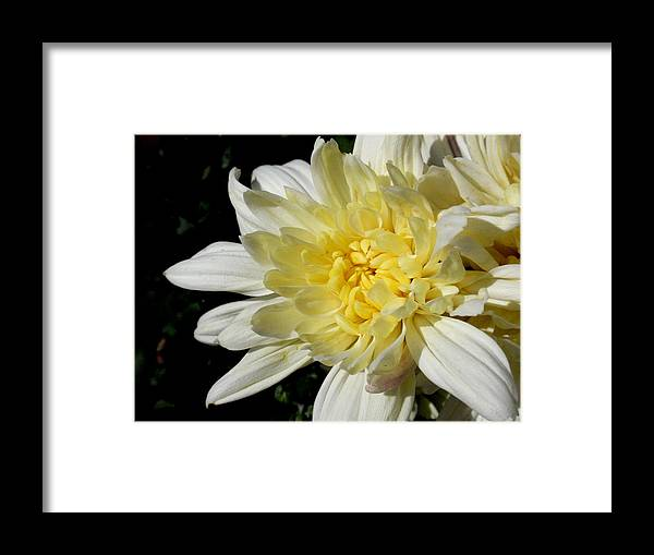 Flower Framed Print featuring the photograph White Blossom Of Radiance by Edan Chapman