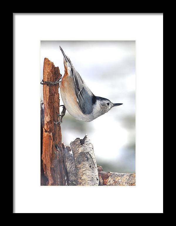 Nature Framed Print featuring the photograph White-breasted Nuthach by Raju Alagawadi
