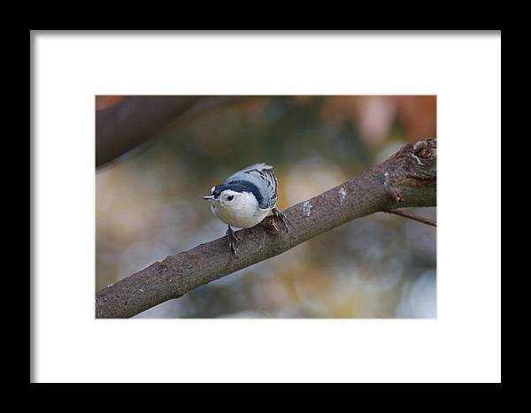 Nature Framed Print featuring the photograph White Breasted Nuthatch by Paul Gavin