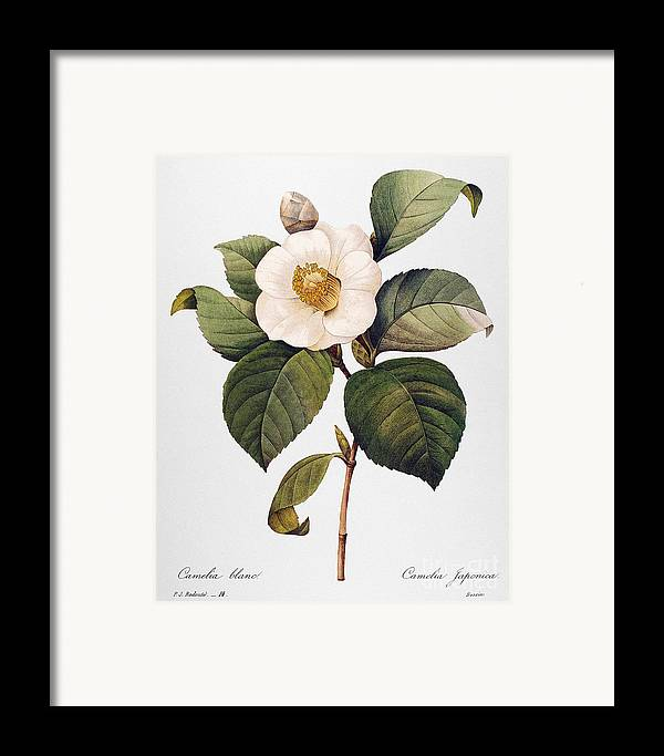 1833 Framed Print featuring the photograph White Camellia by Granger