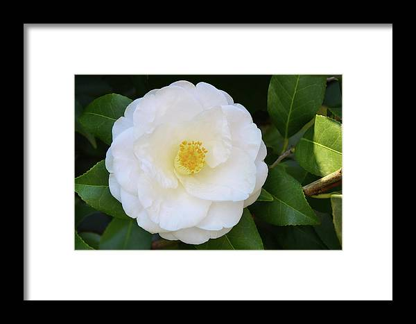 Isabela Cocoli Framed Print featuring the photograph White Camellia by Isabela and Skender Cocoli