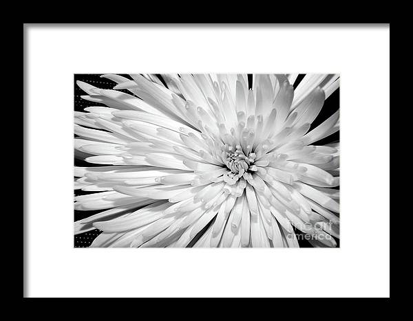 Nature Framed Print featuring the photograph White Chrysanthemum by Julia Hiebaum