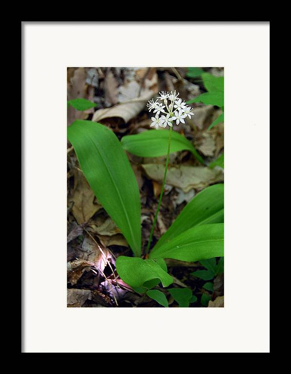 White Clintonia Framed Print featuring the photograph White Clintonia by Alan Lenk