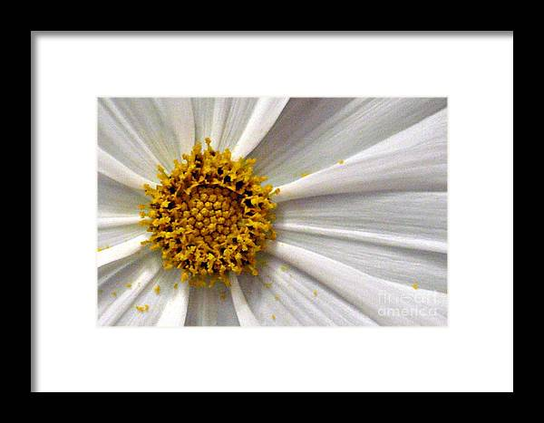 Flower Framed Print featuring the photograph White Cosmos by Jacqueline Milner