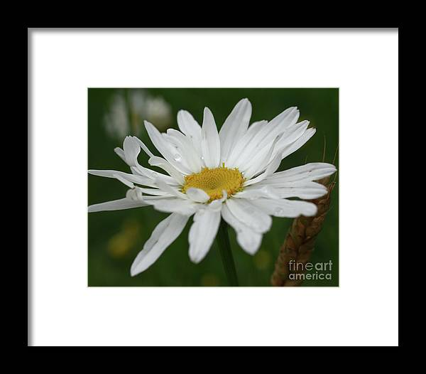 Flower Framed Print featuring the photograph White Daisy by Smilin Eyes Treasures