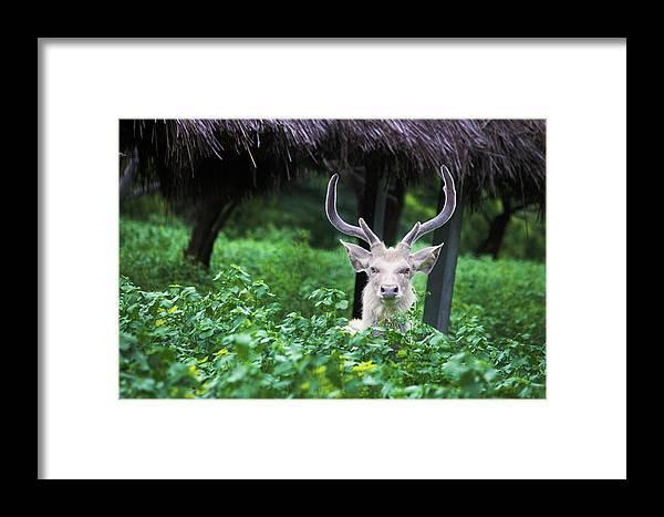 Deer Framed Print featuring the photograph White Deer by Vasanth Kumar