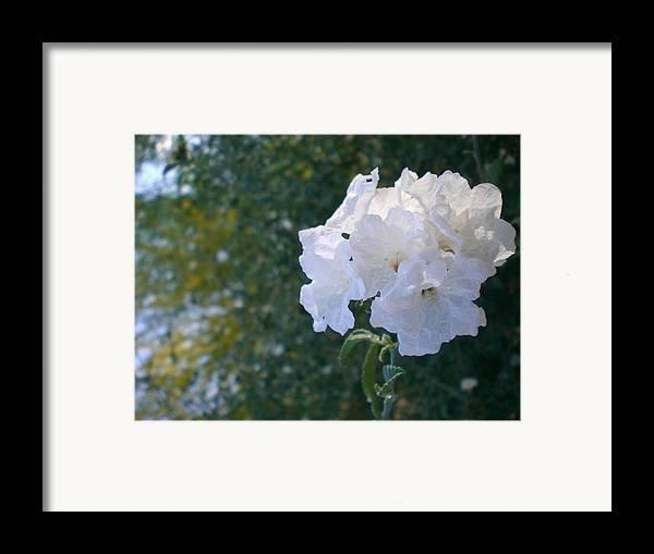 Flowers Framed Print featuring the photograph White Desert Flowers by Aleksandra Buha