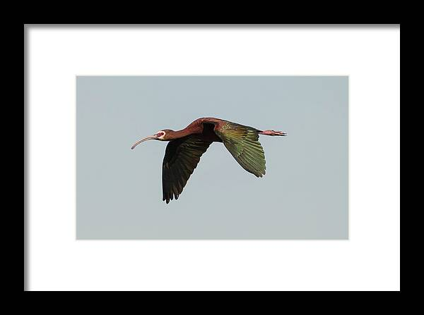Loree Johnson Photography Framed Print featuring the photograph White Faced Ibis Flyby by Loree Johnson