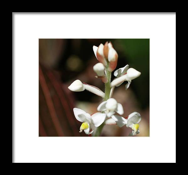 Close-up Photo Photography Flower Plant White Buds Framed Print featuring the photograph White Flower Buds by Christina Geiger