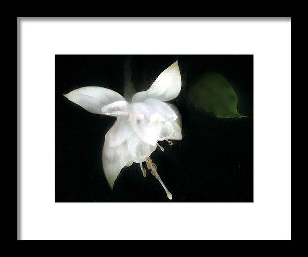 Fusia Framed Print featuring the painting White Fusia by Charles Parks