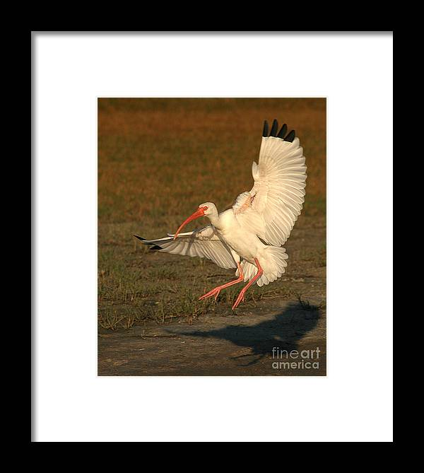 Ibis Framed Print featuring the photograph White Ibis Landing Upon Ground by Max Allen