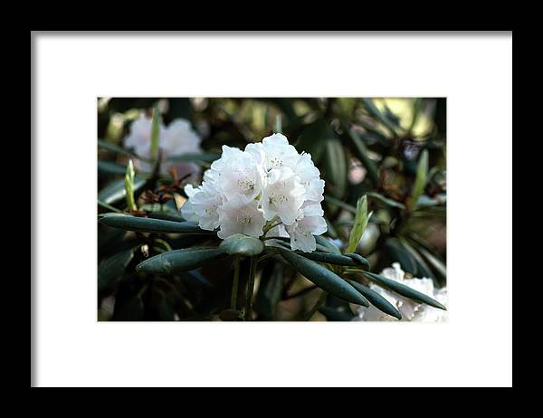 White Framed Print featuring the photograph White Inflorence Of Rhododendron Plant by Jarmo Honkanen