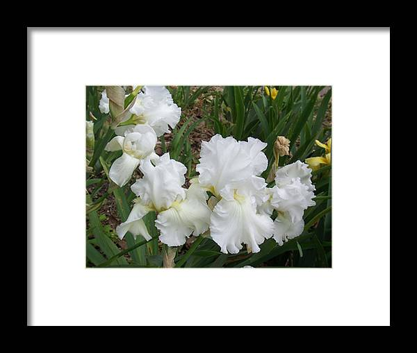 Flower Framed Print featuring the photograph White Iris by Ellen B Pate
