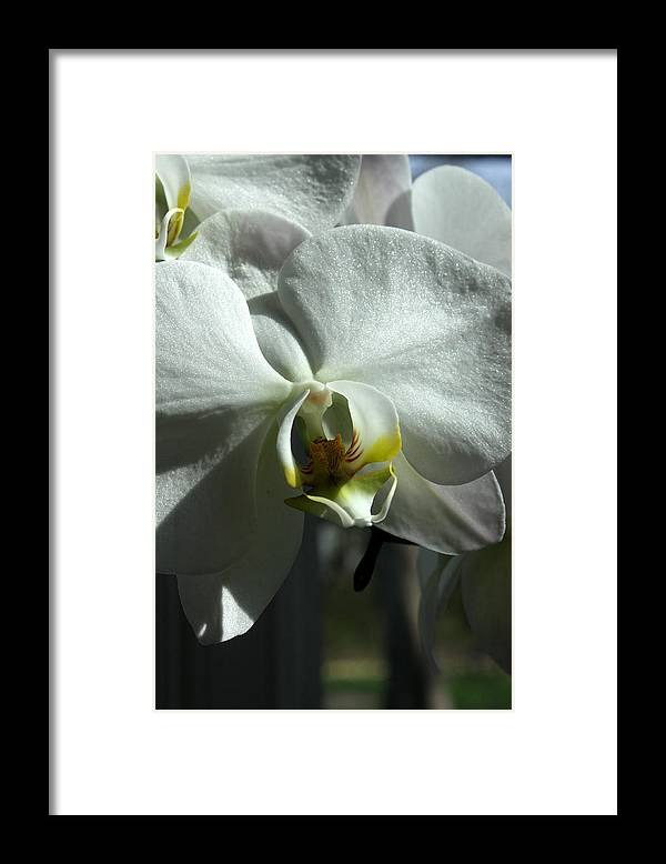 White Framed Print featuring the photograph White Orchid by David Bearden