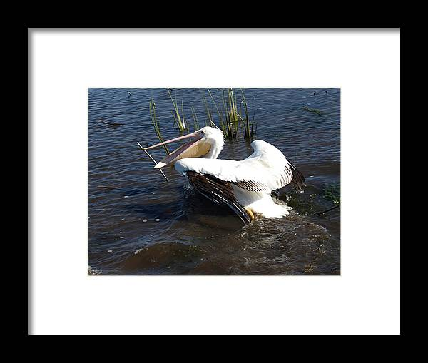 Marsh Framed Print featuring the photograph White Pelican In The Marsh by Bill Perry