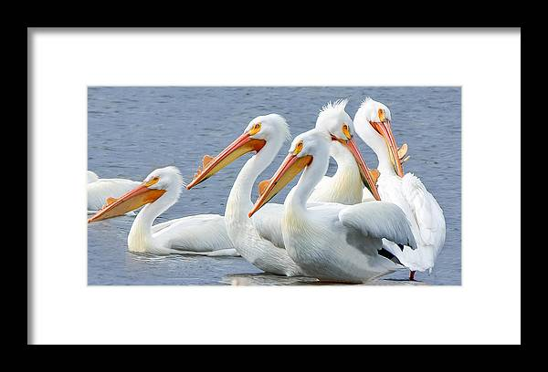 Batavia Framed Print featuring the photograph White Pelicans At Nelson Lake by Joni Eskridge
