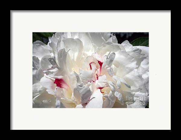 Peony Framed Print featuring the photograph White Peony And Red Highlights by Steve Augustin