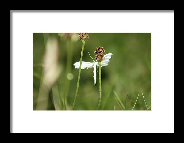 White Moth Framed Print featuring the photograph White Plume Moth, by Frances Lewis