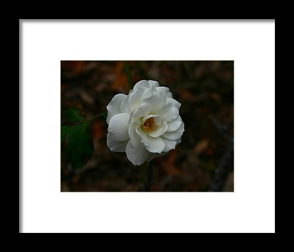White Framed Print featuring the photograph White Rose 209 by David Houston