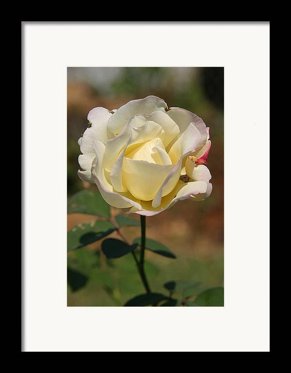 Rose Framed Print featuring the photograph White Rose by Donald Tusa