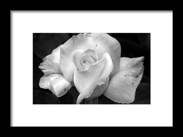 Rose Framed Print featuring the photograph White Rose by Holly Ethan