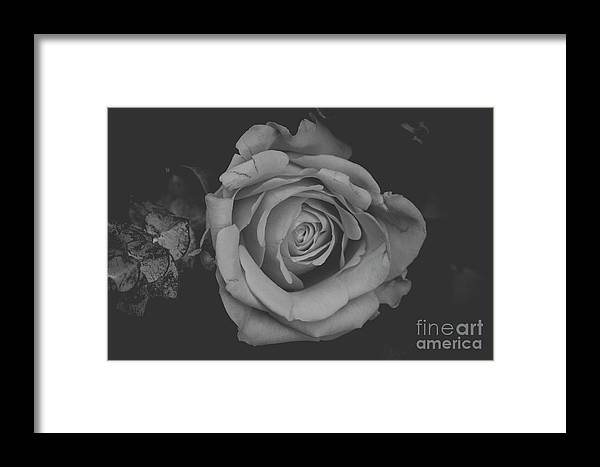 Rose Framed Print featuring the photograph White Rose In Black And White by Maxwell Dziku