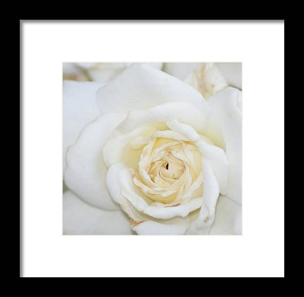 Flower Framed Print featuring the photograph White Rose by Liz Vernand