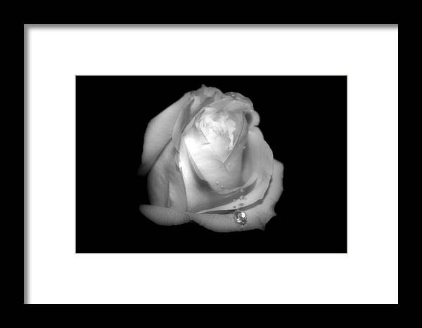Rose Framed Print featuring the photograph White Rose by Gulf Island Photography and Images
