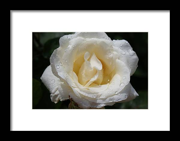 Flowers: White Rose With Dew Drops Framed Print featuring the photograph White Rose With Dew Drops by Ann O Connell