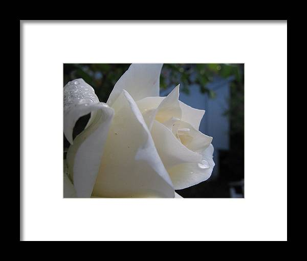 Floral Framed Print featuring the photograph White Rose With Dew Drops by Kathy Roncarati