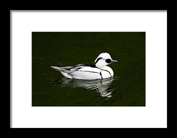 White Framed Print featuring the photograph White Smew Duck On Silver Pond by Douglas Barnett