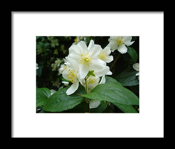 Flora Framed Print featuring the photograph White Spring Blossom by Susan Baker