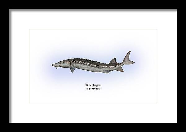 White Sturgeon Framed Print featuring the painting White Sturgeon by Ralph Martens