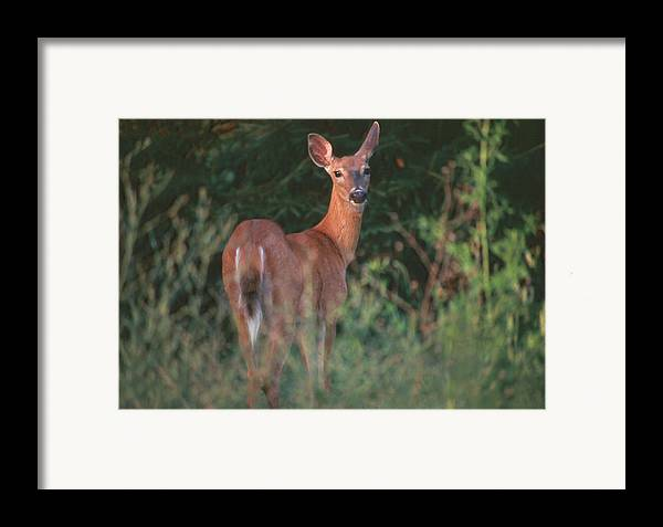 Deer Framed Print featuring the photograph White-tail Deer by Raju Alagawadi