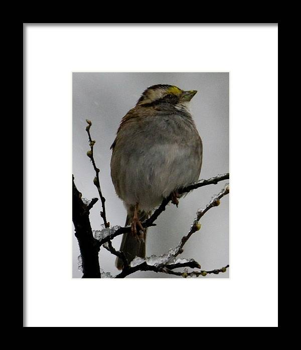 Zonotrichia Albicollis Framed Print featuring the photograph White Throated Sparrow by Michael Barry