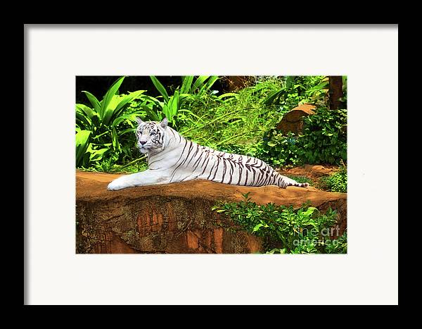 Tiger Framed Print featuring the photograph White Tiger by MotHaiBaPhoto Prints