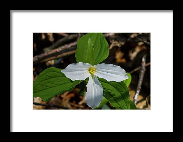 Beth Root Framed Print featuring the photograph White Trillium 2 by Bob Corson