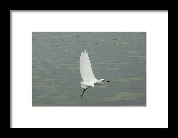 Bird Framed Print featuring the photograph White Wing by Dean Corbin
