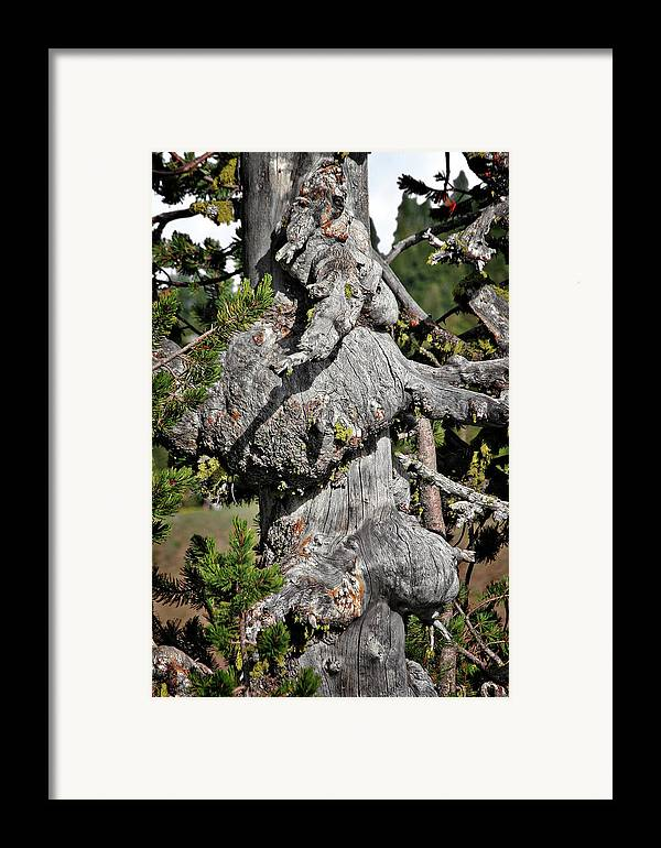 Pines Framed Print featuring the photograph Whitebark Pine Tree - Iconic Endangered Keystone Species by Christine Till