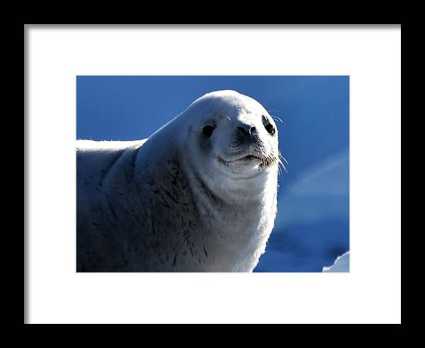 Seal Framed Print featuring the photograph Who Me? by Chris Hanlon